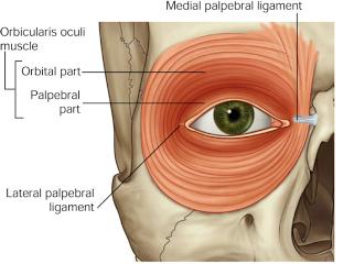eye muscle (2)
