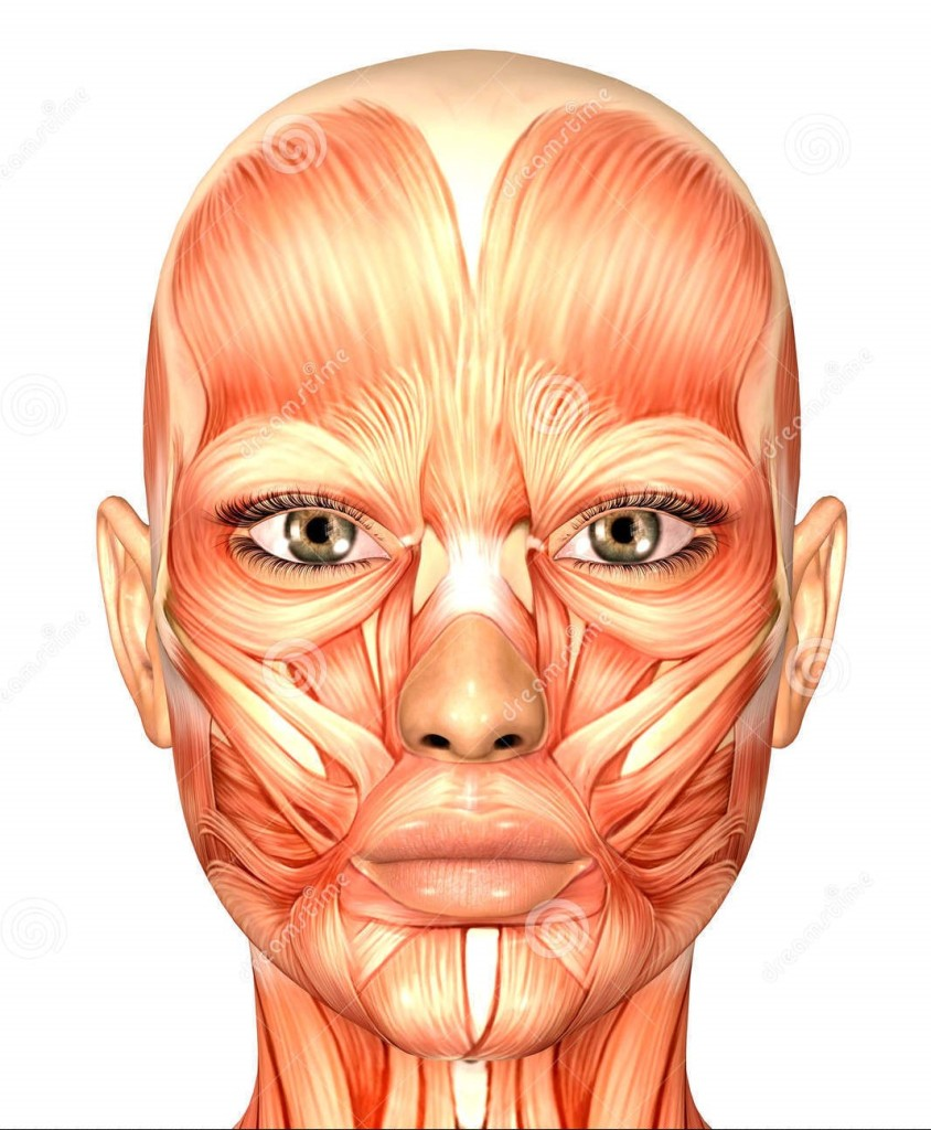 facial muscle a (2)