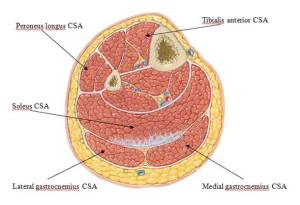 muscle cross section 3